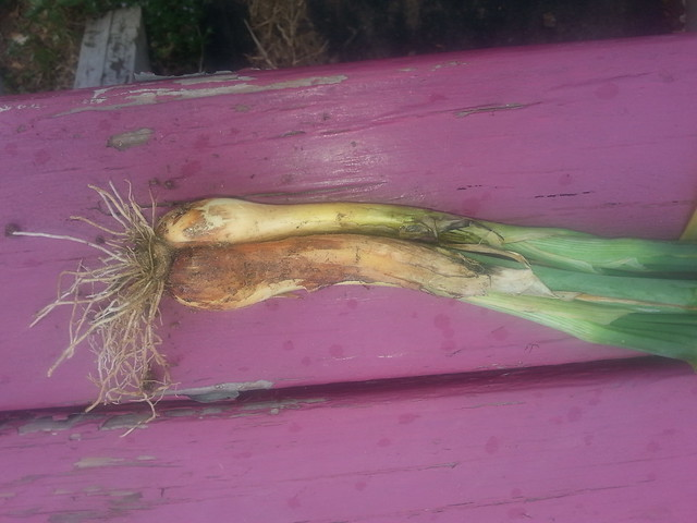 Regrown Onions 1