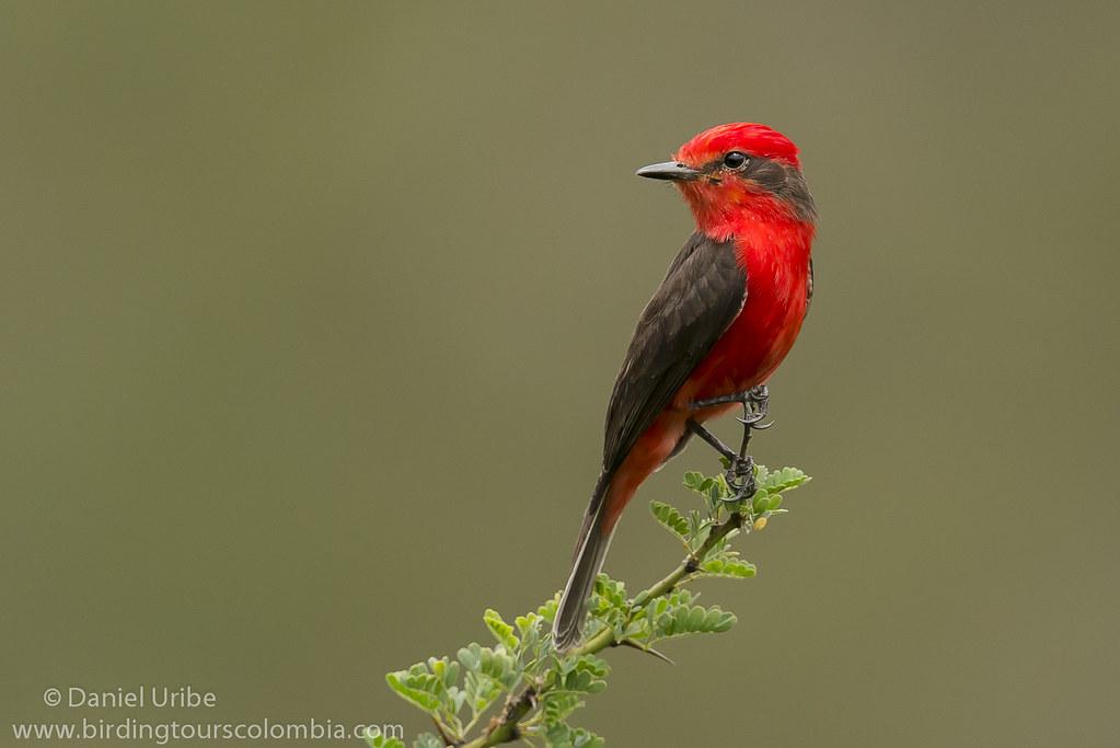 Vermilion Flycatcher (male) / Pyrocephalus rubinus / Petirrojo (macho)