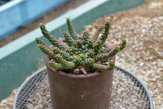 DSC_0054 Euphorbia gorgonis ユーフォルビア 金輪際