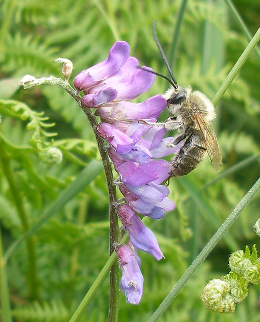 Long-horned bee 7