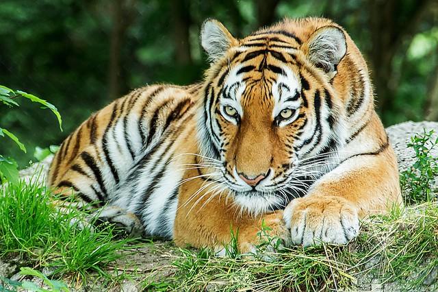 Tigerin Ahimsa