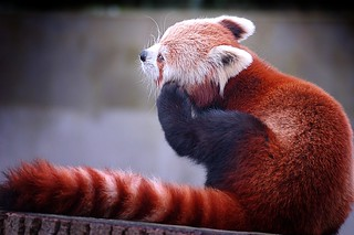 Red Panda | by Di_Ber