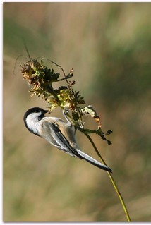 Black-capped Chickadee (Poecile atricapillus) | by christopher.binning