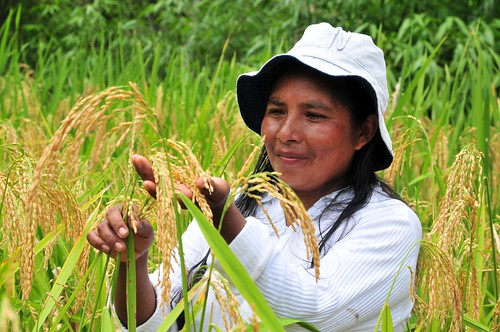 Caranavi_upland rice26_lo | by CIAT International Center for Tropical Agriculture