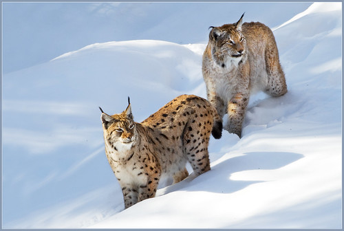 Mr. and Mrs. Lynx | by hvhe1
