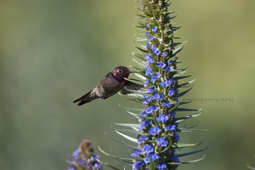 Annas Hummingbird | by *GloriousNature*bySusanGaryPhotography