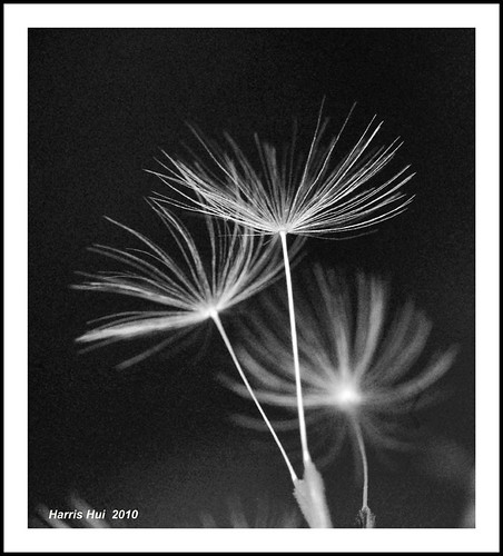 Seeds of the Sacred Tree - Dandelions B&W N1891e | by Harris Hui (in search of light)