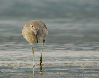 Willet, focused | by Pat Ulrich