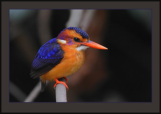 African pygmy-kingfisher (Ceyx pictus) -best in black! | by Rainbirder