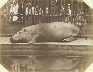 Obaysch the Hippopotamus, London Zoo | by The British Monarchy