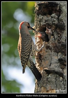 Northern Flicker Male and Young | by GaryT48