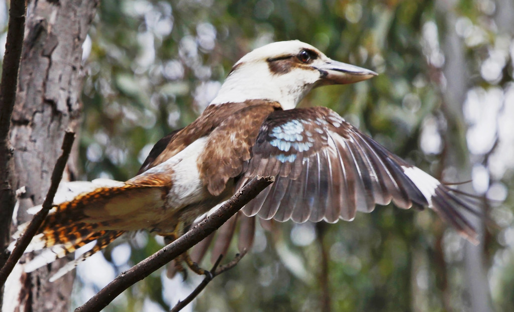 Laughing Kookaburra : In Mid-flight.