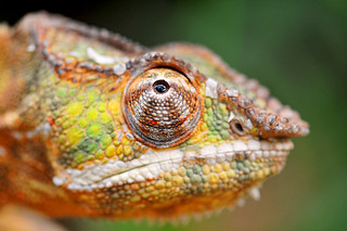 Chameleon quite close... | by Tambako the Jaguar