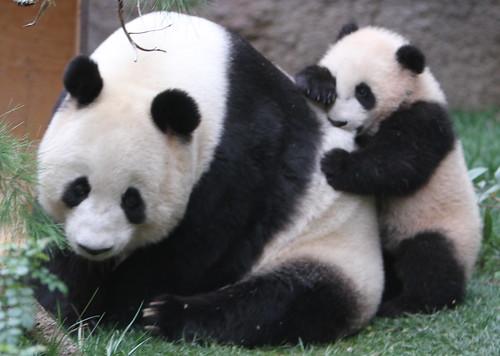 Panda bite - photo#33