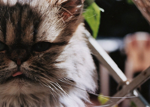 Persian cat | by Nara Berry