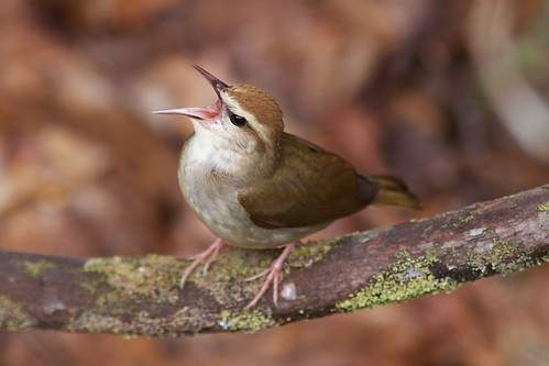 Swainson's Warbler singing, WV | by Jeff Gyr