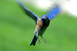 bluebird2 | by Contra Costa Times