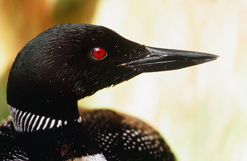 Common loon | by USFWS Pacific