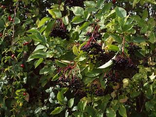 Sambucus nigra L. - Elder
