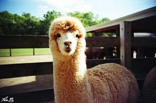 A is for Alpaca. | by Nick Benson Photography