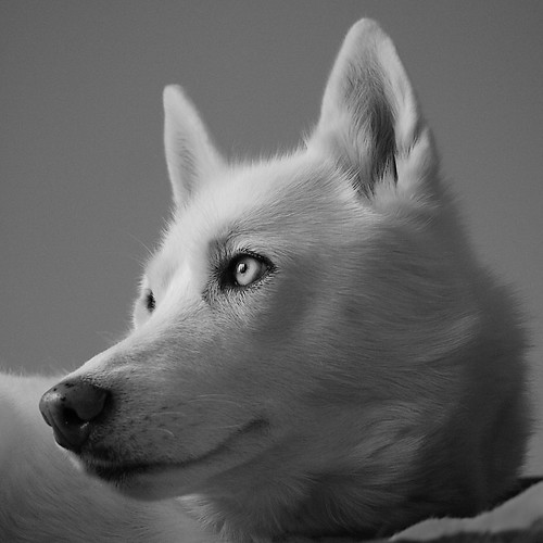 Siberian Husky | by snow dog 67