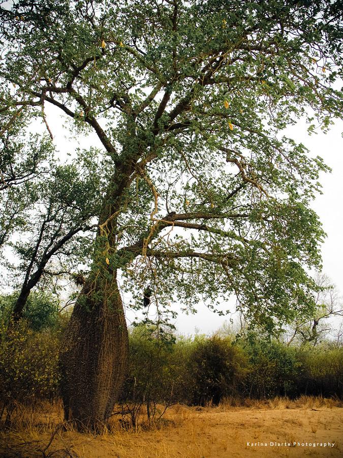 Samu'u / White Silk Floss Tree