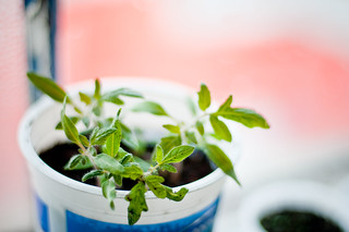 baby tomato plant | by lindsey yeo