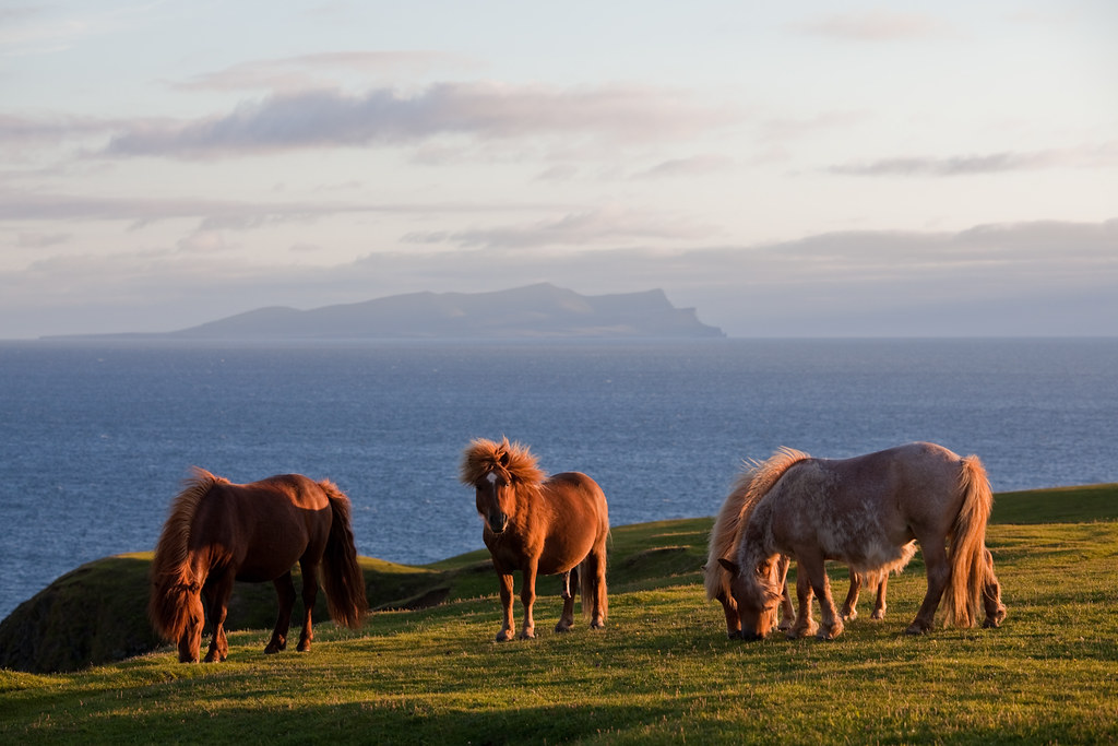 Ponies with Foula in the backgound