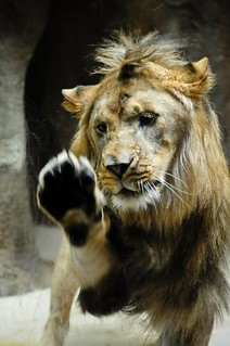 African Lion - Dakota | by Potter Park Zoo