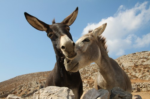 Donkeys in love | by Klearchos Kapoutsis