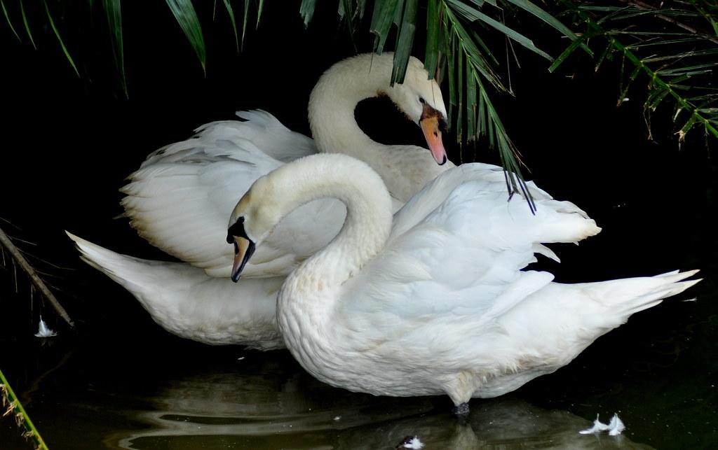 Swan poetry 咏鹅 ...
