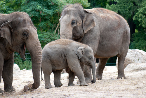 Asian Elephants | by quinet