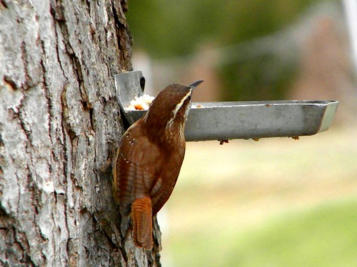 Carolina Wren | by John C. Akers jr.