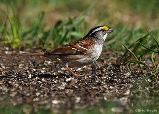 Bruant à gorge blanche / White-throated Sparrow | by Eric Bégin