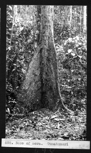 Base of a Mora tree. | by Smithsonian Institution