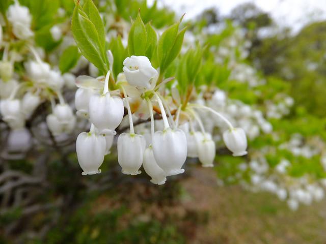 White enkianthsis shrubs. ドウダンツツジ 満天星