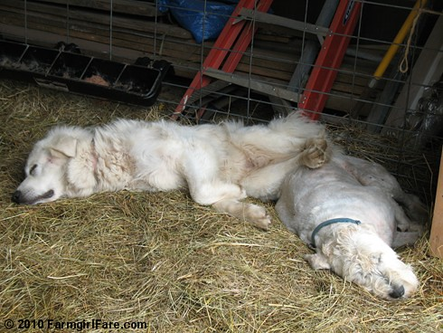 Sacked Out Daisy and Marta | by Farmgirl Susan