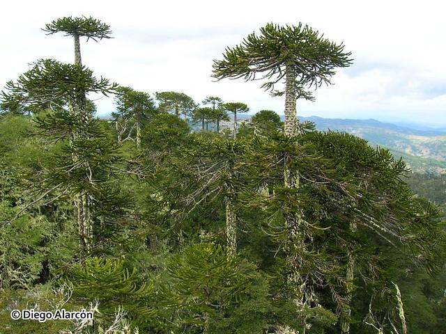 Bosques de Araucaria araucana