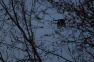 The blue jay flies at dawn | by Rebel Shea