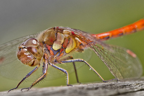 Common Darter Dragonfly (Sympetrum striolatum) | by Roland Bogush
