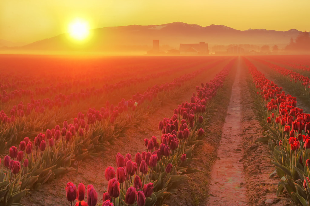 Skagit Valley Tulip Fields with Sun, Washington State