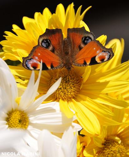 Farfalla novembrina.