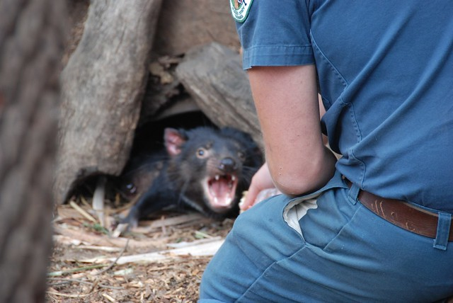 Tasmanian Devil with a bad attitude.