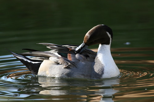 Northern Pintail | by USFWS Pacific Southwest Region