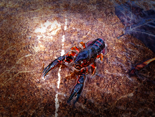 Red swamp crawfish | by Jilroy Frosting Psmith