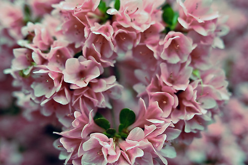 Azalea pink heart valentine flowers | by ForestWander.com
