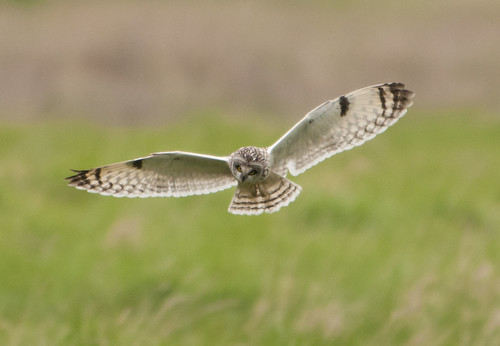 Short Eared Owl | by Carl Allen