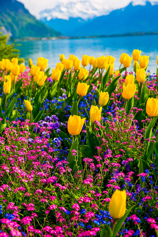 tulips, flowers, Lake Geneva, the Alps