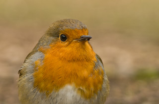 robin close up 2 | by Neil Phillips
