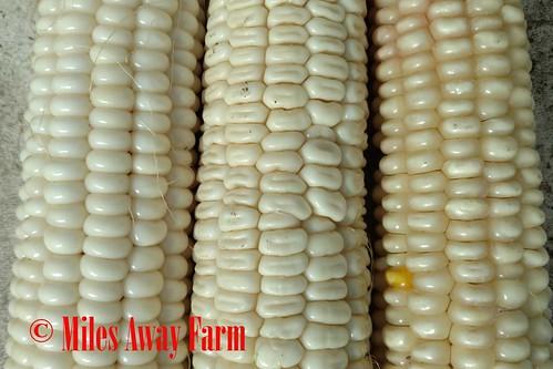 Vadido Hope white corn, mixed type